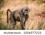 Baboon In The Bush  Safari In...