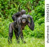 Small photo of Bonobo mother with a baby on a background of a tropical forest. Democratic Republic of the Congo. Africa.
