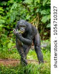 Small photo of Bonobo is standing in the grass on a background of a tropical forest. Democratic Republic of the Congo. Africa.
