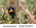 predatory stink bug orange and... | Shutterstock . vector #1056724097