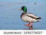 male mallard  anas... | Shutterstock . vector #1056776027