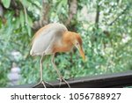 closeup of cattle egret with... | Shutterstock . vector #1056788927