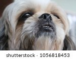 long hair of white dog | Shutterstock . vector #1056818453
