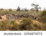 huge herd of herbivores on the... | Shutterstock . vector #1056874373