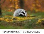 portrait of european badger ... | Shutterstock . vector #1056929687