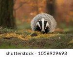 portrait of european badger ... | Shutterstock . vector #1056929693