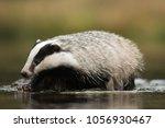 european badger  meles meles  ... | Shutterstock . vector #1056930467