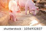 two small piglet stand on the... | Shutterstock . vector #1056932837
