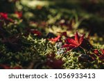 red maple leave fall in the... | Shutterstock . vector #1056933413