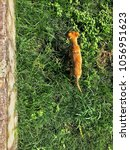Small photo of A brown dog running through green grass seem from above