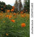 beautiful mexican aster flower...   Shutterstock . vector #1056951683