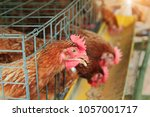 close up of brown hens feeding... | Shutterstock . vector #1057001717