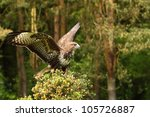 common buzzard coming to rest | Shutterstock . vector #105726887