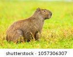 capybara  hydrochaeris...   Shutterstock . vector #1057306307