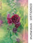 Red Terry Hollyhock Blossoms....
