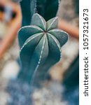 Small photo of Green Cactus Pachycereus marginatus Closeup Trunk Detail Showing its Spike Rows on the Ribs. Cactus blur