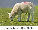 sheep  quirain  isle of skye ... | Shutterstock . vector #105740207