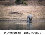 white rhino drinking after... | Shutterstock . vector #1057404833