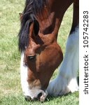 Beautiful Clydesdale Grazing I...