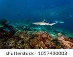 white tip reef shark swims over ... | Shutterstock . vector #1057430003