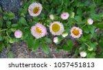 Small photo of pink Fleabane Flower