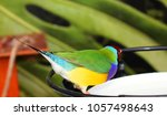 the gouldian finch  erythrura... | Shutterstock . vector #1057498643