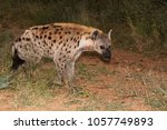 spotted hyena moving back to... | Shutterstock . vector #1057749893