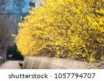 beautiful forsythia in spring... | Shutterstock . vector #1057794707