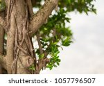 high brown tree thick branch of ... | Shutterstock . vector #1057796507