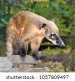 Small photo of oati, genera Nasua and Nasuella, also known as the coatimundi is a member of the raccoon family native America. oati at natural background at zoo.