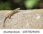 Cute Lizard Taking Sun On Rock...