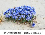 dwarf jacob's ladder ... | Shutterstock . vector #1057848113