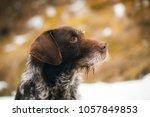 german wirehaired pointer... | Shutterstock . vector #1057849853