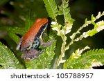 Small photo of Ecuadorian Poison Frog (Ameerega bilinguis)