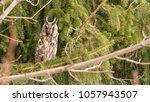 Long Ear Owl Sitting On A Tree.