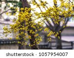 yellow spring blossoms of... | Shutterstock . vector #1057954007