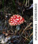 Small photo of Death Cap in thick forest Amanita muscaria
