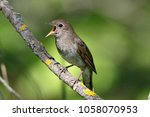 thrush nightingale  luscinia... | Shutterstock . vector #1058070953