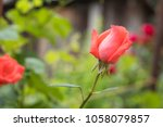 beautiful red rose on green... | Shutterstock . vector #1058079857