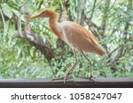 closeup of cattle egret with... | Shutterstock . vector #1058247047