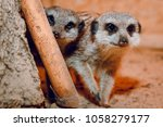 Two Meerkats On The Sand