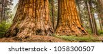 giant sequoias  redwoods  in...
