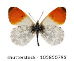 The Orange Tip  Anthocharis...