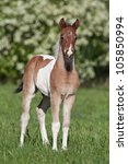 Nice paint foal - stock photo