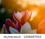 pink and whit frangipani on the ... | Shutterstock . vector #1058687033