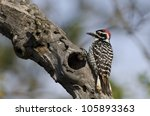 A Nuttall's woodpecker on a branch. - stock photo