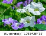 asystasia gangetica  ganges...   Shutterstock . vector #1058935493