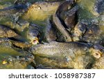 common carps opening mouth for... | Shutterstock . vector #1058987387