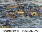 a lot of common carps in the... | Shutterstock . vector #1058987393