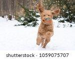 active brown golden doodle dog... | Shutterstock . vector #1059075707